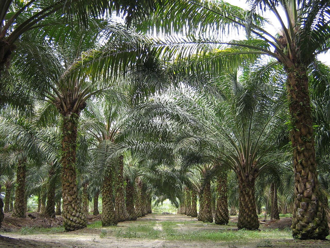 palme da olio