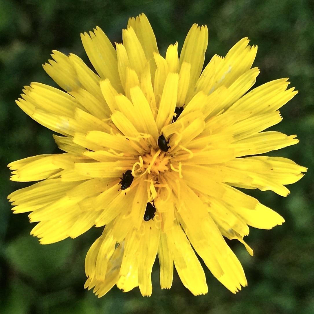 meligeti fiori gialli