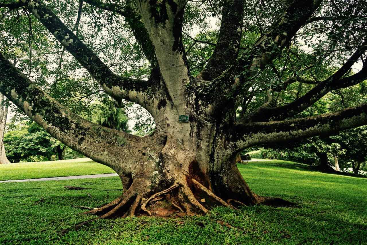 Ficus trimenii