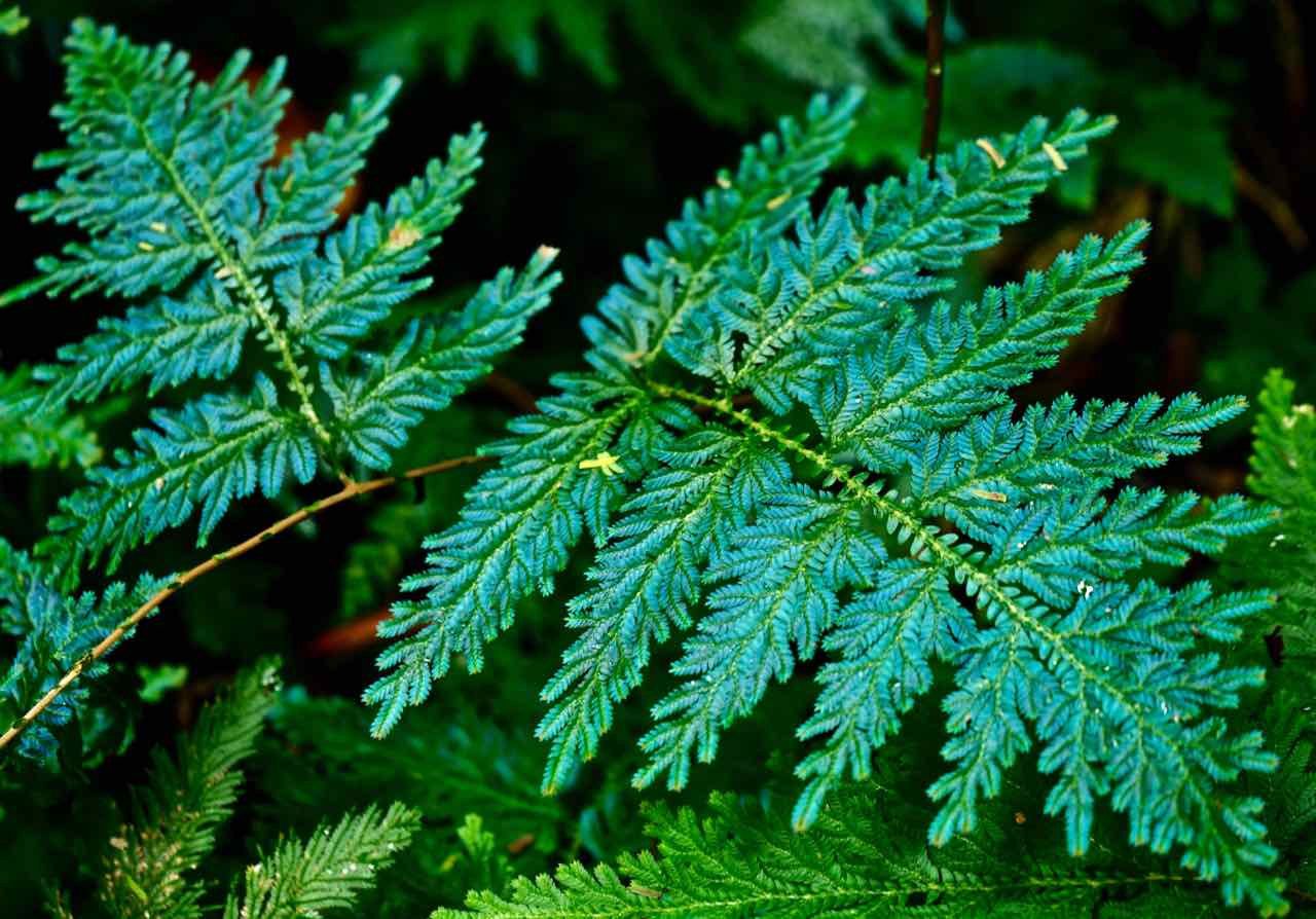 intelligenza vegetale Felce blu pavone Selaginella Wildenowii