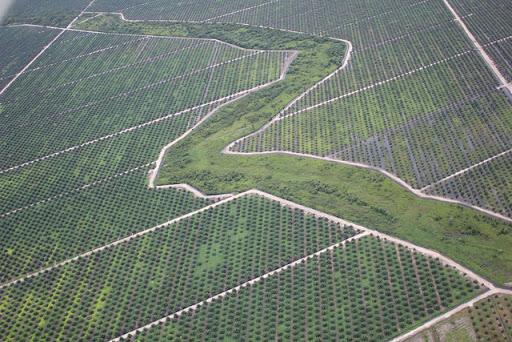 olio di palma piantagioni