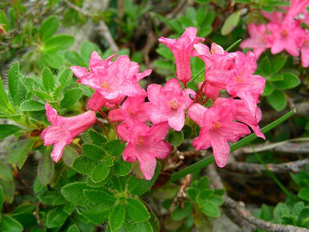 Rododendro sempreverdi rhododendron hirsutum