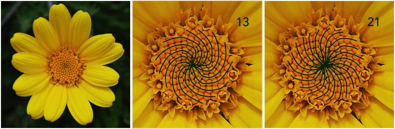 fibonacci fiori