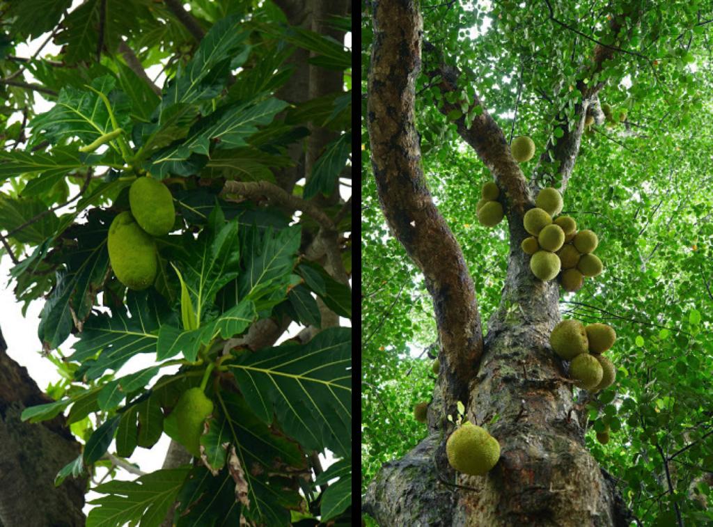 albero del pane giaca jackfruit