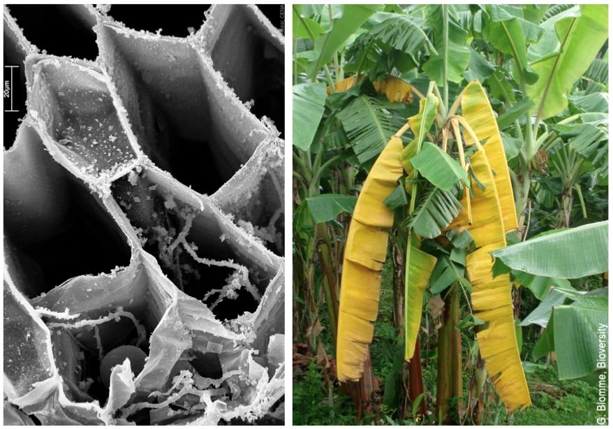 fusarium banane sintomi