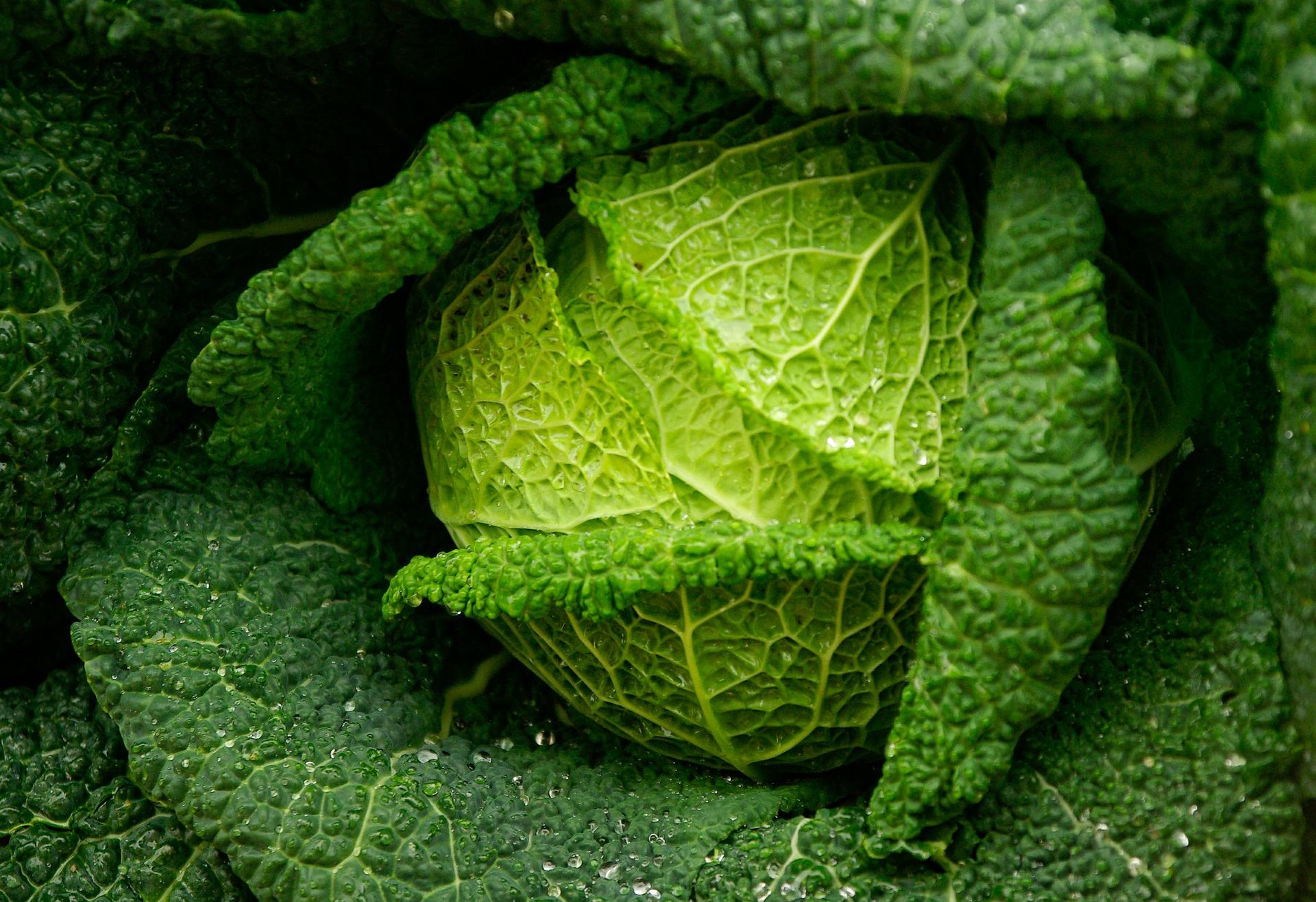 Brassica verza