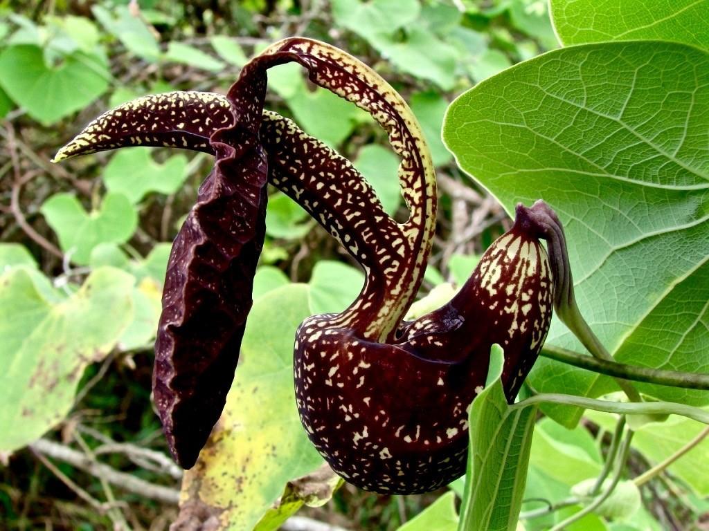 Aristolochia galeata fiori