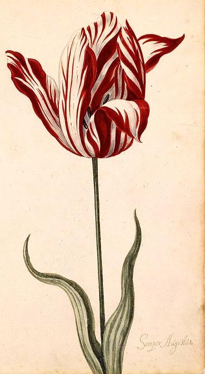 Semper augustus tulipano