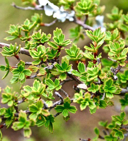 Myrothamnus flabellifolius reserrezione