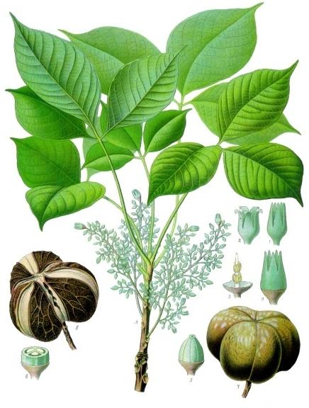 hevea brasiliensis albero della gomma