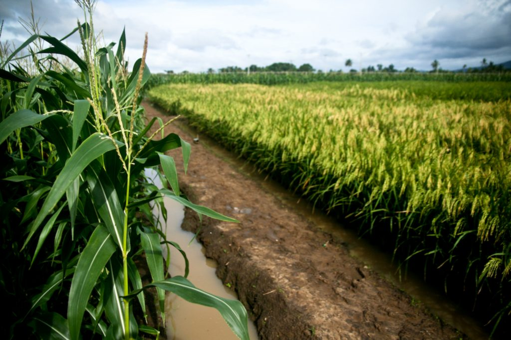 campi golden rice