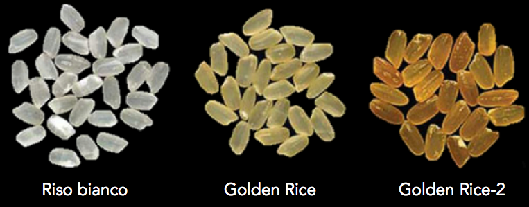 riso golden rice