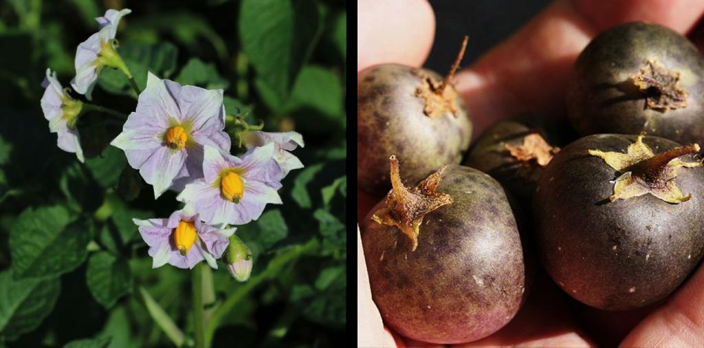 patate fiori frutti