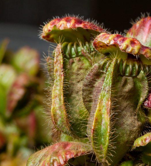 piante carnivore cephalotus