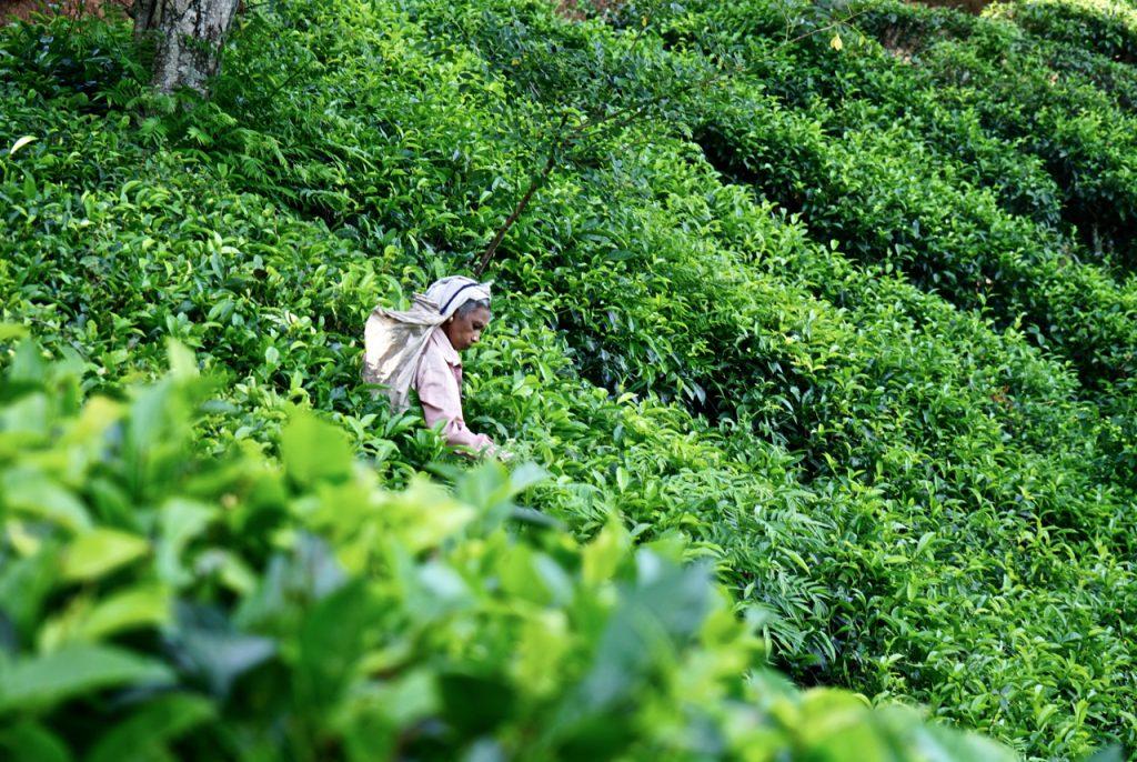 Raccoglitrice di tè in Sri Lanka