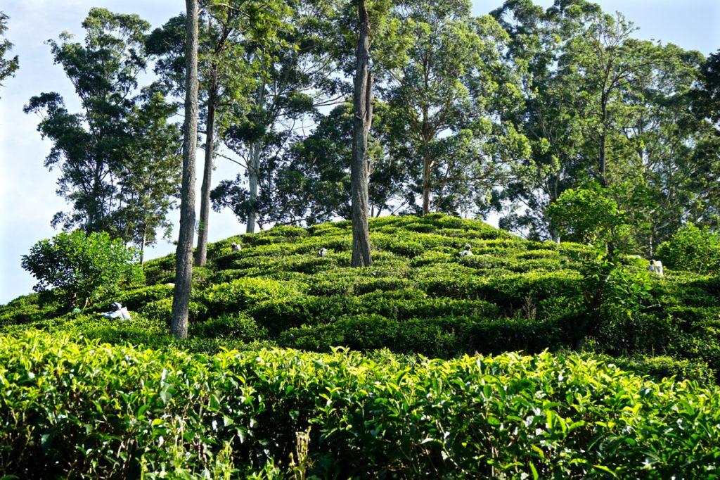 raccoglitori di tè in Sri Lanka