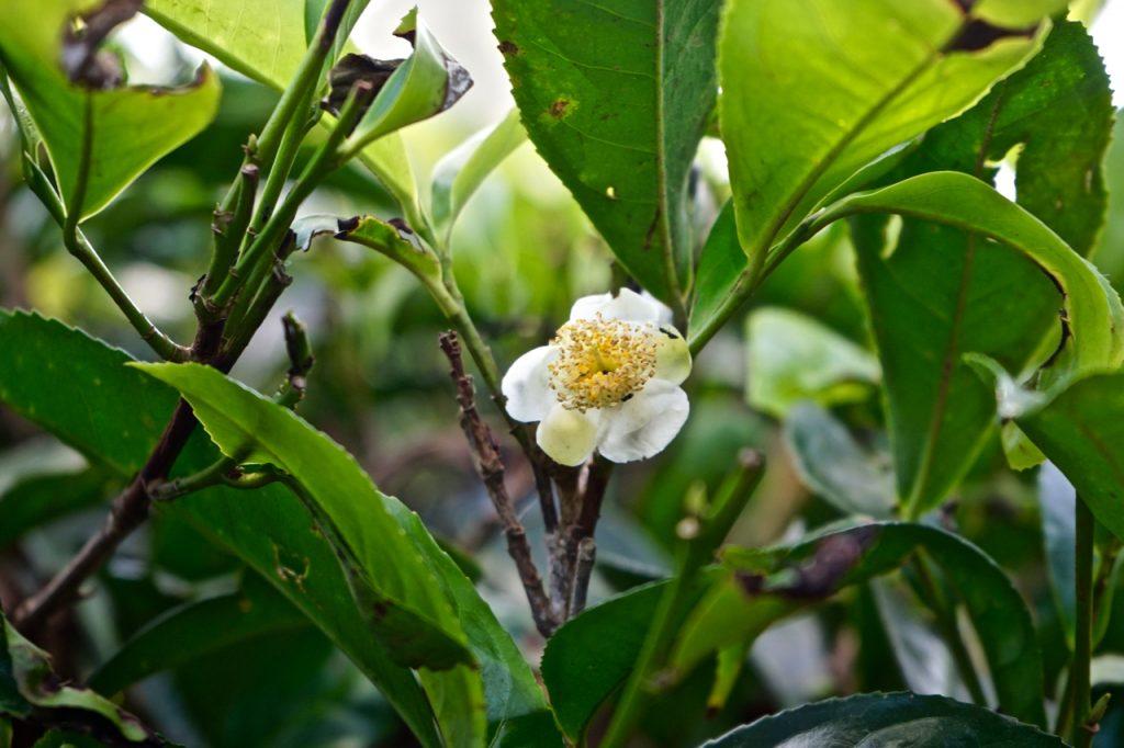 Fiori di tè Sri Lanka