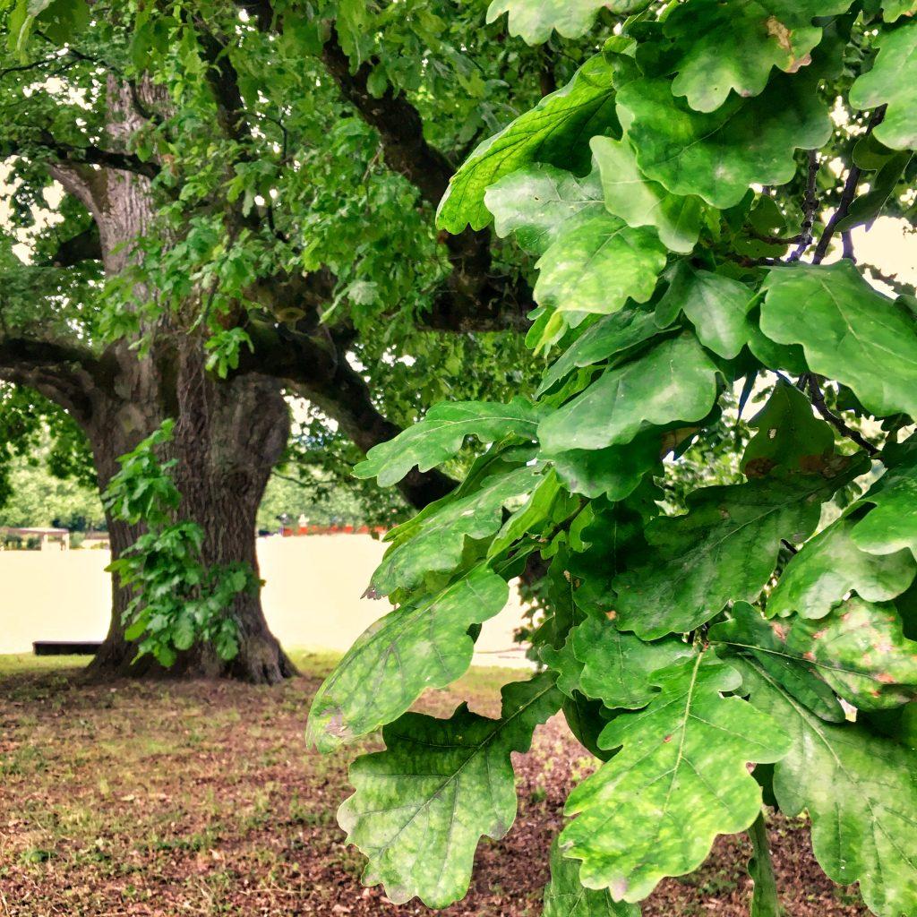 foglie quercia Napoleone