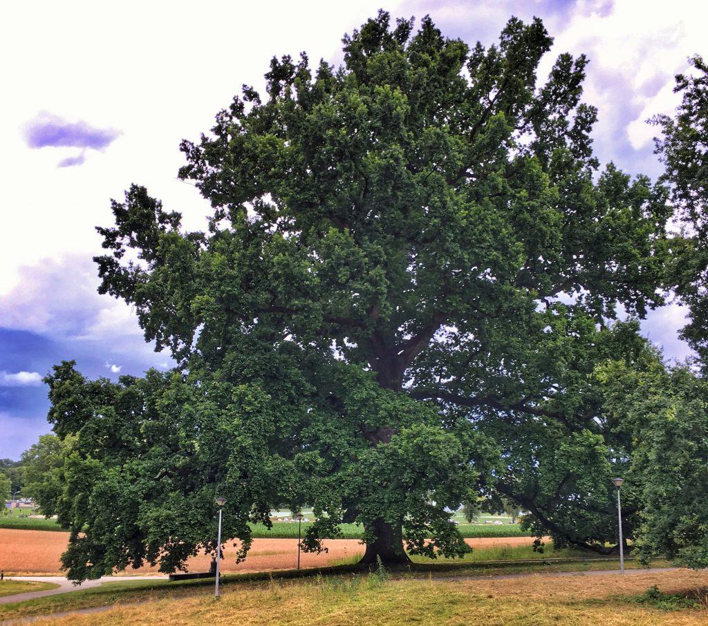 Le chêne de Napoléon